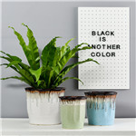景德镇招财树盆栽植物室内客厅绿植摇钱树办公室盆栽绿色植物盆景